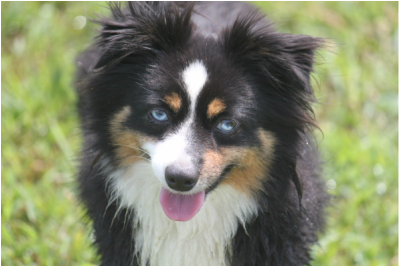 Kaleidoscope toy and miniature natural tailed australian shepherds welcome to kaleidoscope toy and miniature australian shepherds located in raleigh nc miniature australian shepherds are also known as mini aussies malvernweather Images